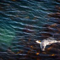 GREY SEAL 4124