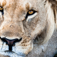 AFRICAN LION 7289