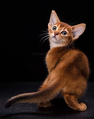 кошка, котенок, абиссинская кошка