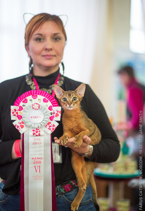 Абиссинский котенок на выставке
