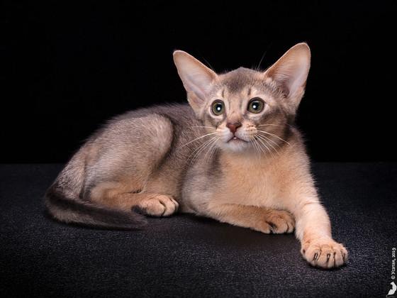 Абиссинский котенок