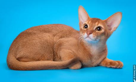 Абиссинский котенок соррель