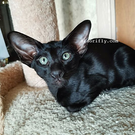 Ориентальный кот эбони