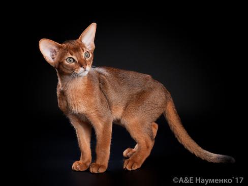 Абисснский котенок