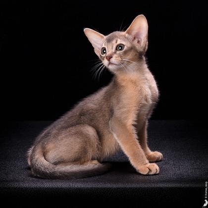 Абиссиснкий котенок
