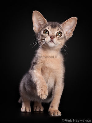 котёнок, абик, абиссинский кот