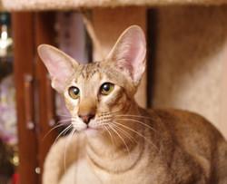 Ориентальная кошка Глафира