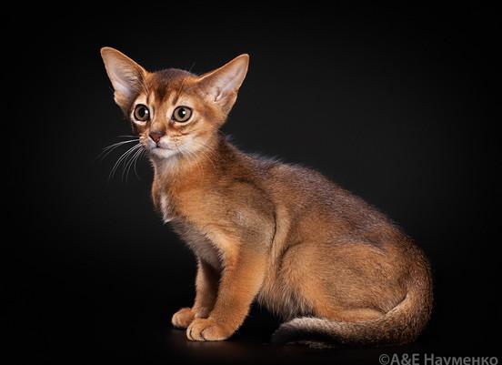 Котенок абиссин