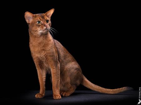 Mirrorofsoul Hillarion -абиссинский кот