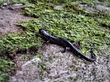 Salamander by Laura Hodge