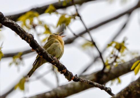 Singing Worm-eating warbler