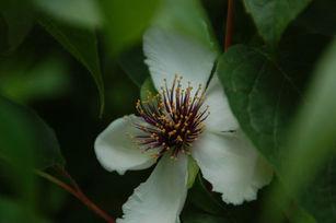Mountain camellia (Stewartia ovata)  blu