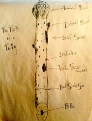 Parts of a Twig for Winter Tree ID