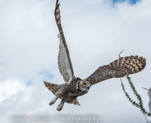 Horned Owl-7.jpg