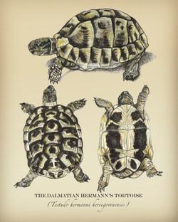 Dalmatian Hermann's Tortoise (Scientific Illustration)
