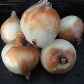 Large Yellow Onion