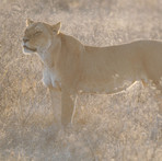 Female Lion in the sunset