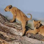 Lion's cubs