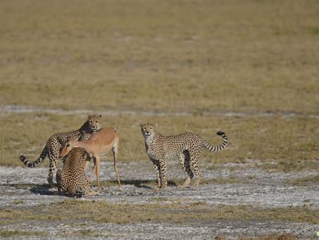 Nudtu. La chasse des guépards