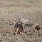 Side-striped jackals