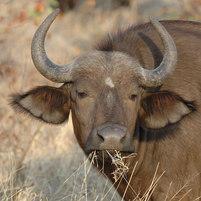 Buffle - Buffalo - Syncerus caffer