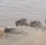Wildebeests - Mara Crossing