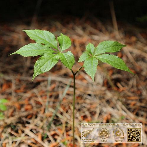 Panax Ginseng Seedlings