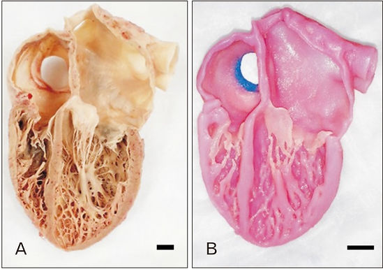 Latest paper accepted for publication in Anatomy & Cell Biology