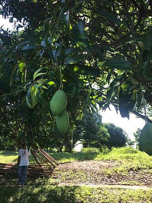 better mango 2.jpg