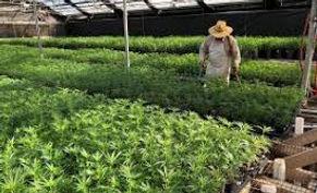 Hemp Cultivation.jpeg