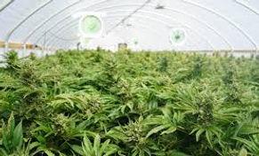 Marijuana Odor.jpg