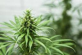 Marijuana Crop.jpg
