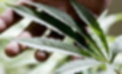 Ventura-Fees-Cannabis-Deliveries.jpg