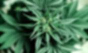 Cannabis Plant 5.jpg