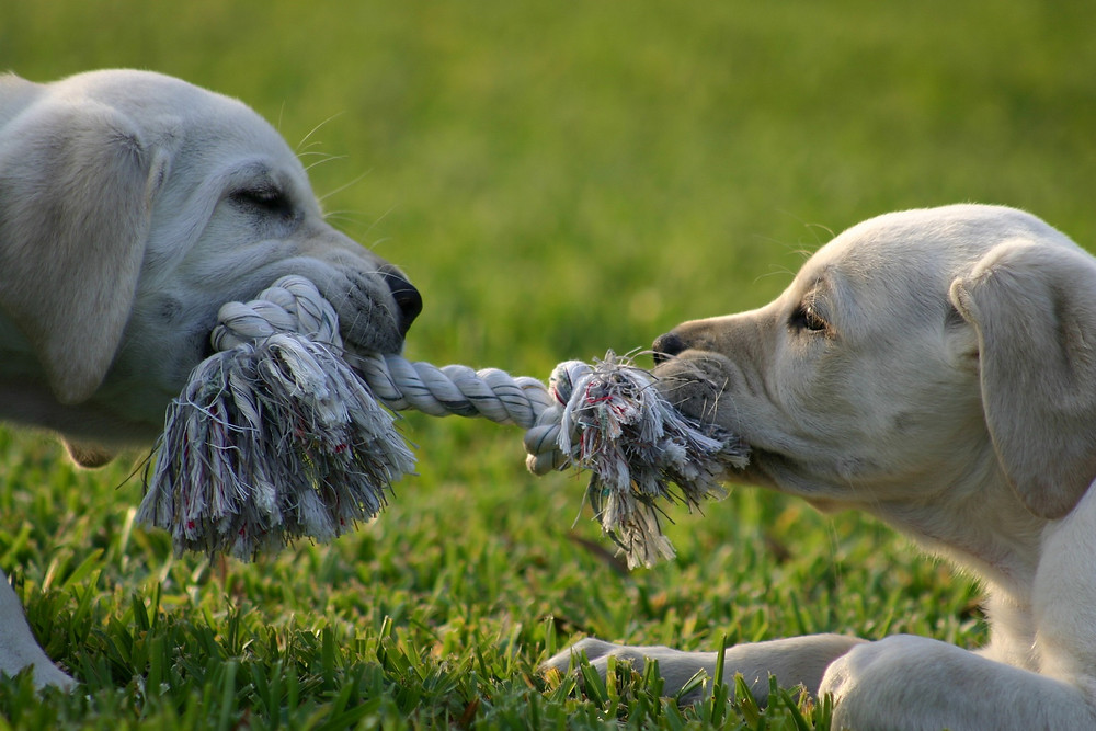 tug of war dogs