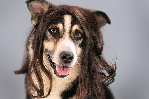 dog in a wig