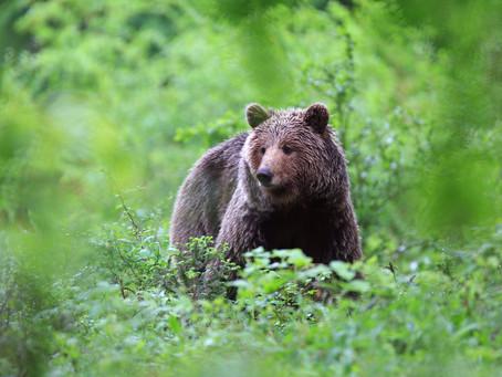 Unique Bear Watching Tour