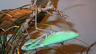 Hierodula membranacea (gigant asian mantis)