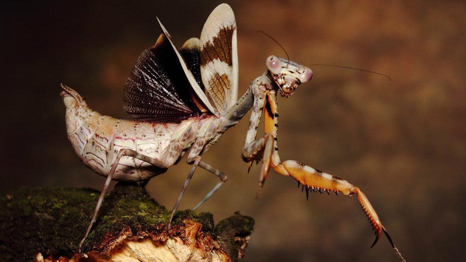 Parasphendale affinis (bud wing mantis)