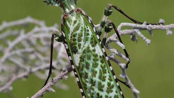 Blepharopsis mendica (thistle mantis)