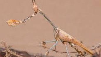 Gongylus gongylodes Wandering Violin Mantis