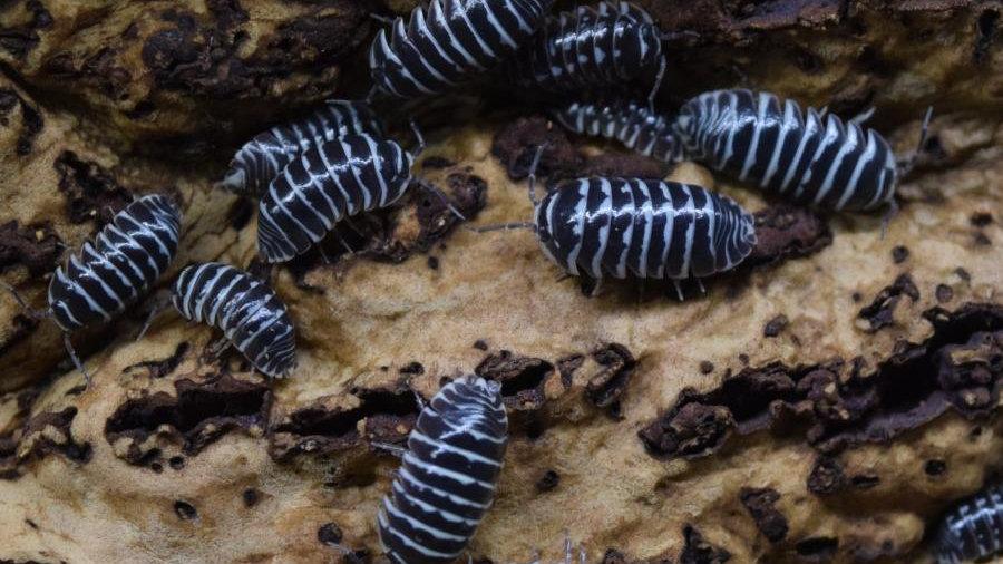 Armadillidium maculatum (Zebra isopod)