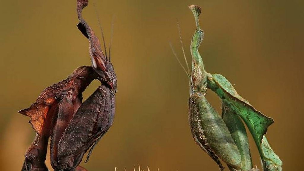 Phyllocrania paradoxa (Ghost mantis)
