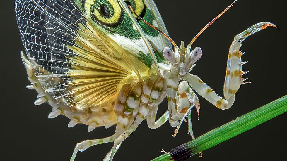 Pseudocreobotra wahlbergii (Spiney flower mantis)