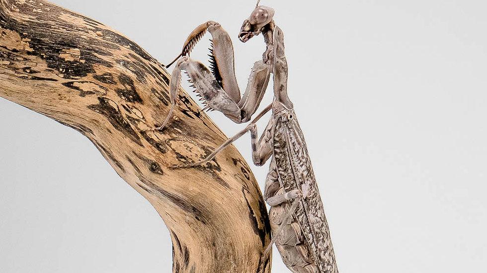 Pnigomantis medioconstricta (indonesian double shield mantis)