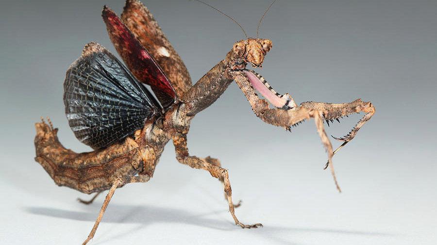 Popa spurca (african twig mantis)