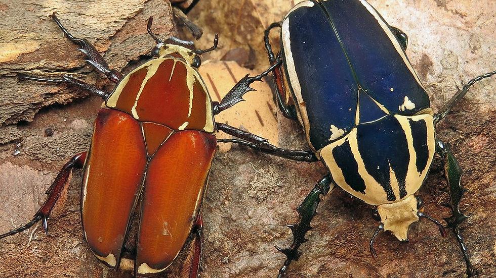Mecynorrhina torquata ugandensis