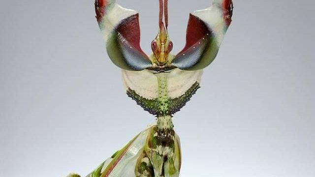 Idolomantis diabolica (devils flower mantis)