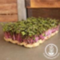 kohlrabi-purple-vienna-microgreens-wm_80