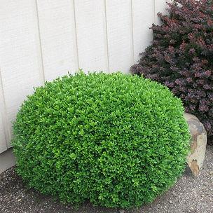green_gem_buxus_shrub_plant_398_detail.j